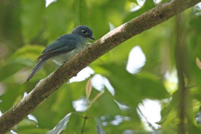 Gambar Nama Nama Burung Langka Di Indonesia Seriwang Sangihen (Eutrichomyias rowleyi)