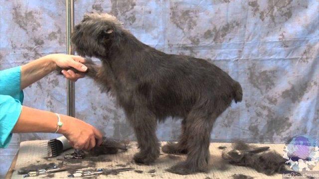 Gambar Sifat Dan Karakter Anjing Affenpinscher