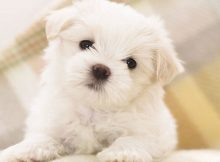 Gambar Sifat Dan Karakter Anjing Bolognese
