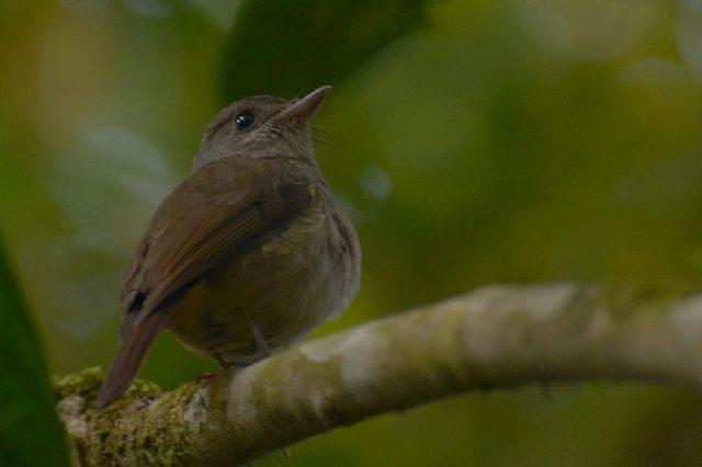 Gambar Nama Nama Burung Langka Di Indonesia Sikatan Matinan (Cyornis sanfordi)