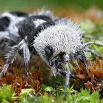 Gambar Dan Foto The panda ant ( Euspinolia militaris )