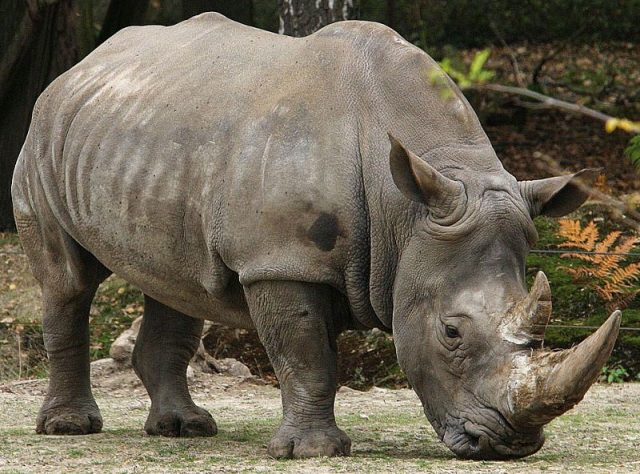 Gambar Badak Sumatra Dan 10 Hewan Langka Di Kalimantan