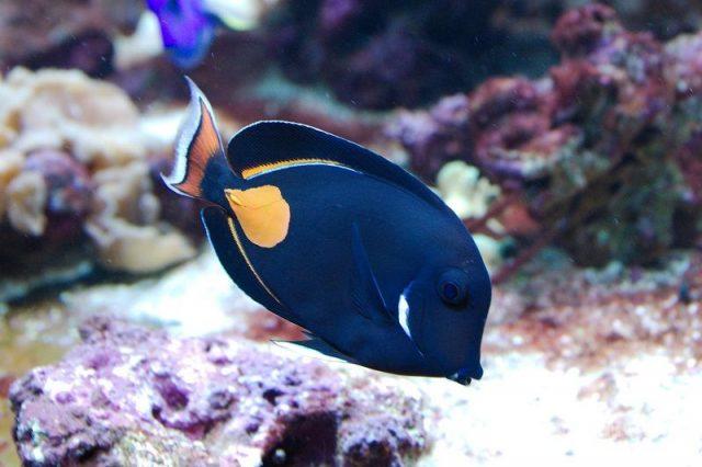 Gambar Ikan Hias Air Laut Achilles tang