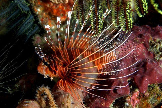 Gambar Ikan Hias Air Laut Antenneta lionfish