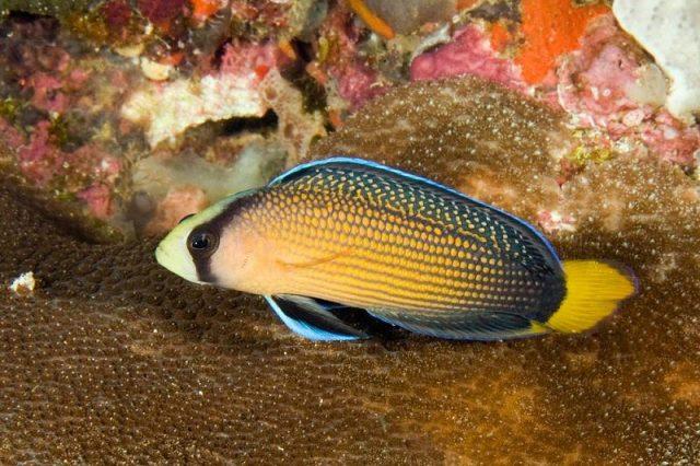 Gambar Ikan Hias Air Laut Australian multicolor pseudochromis
