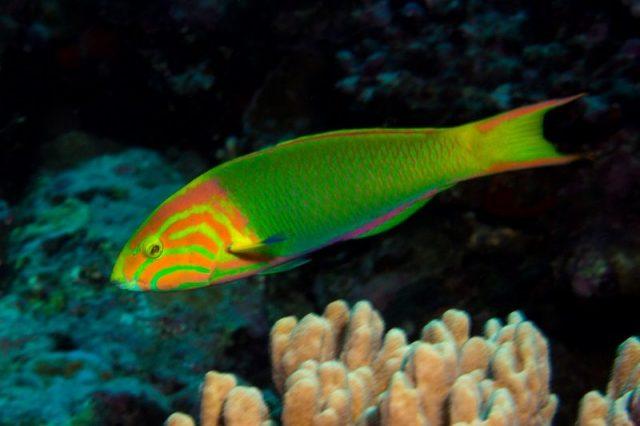 Gambar Ikan Hias Air Laut Banana wrasse