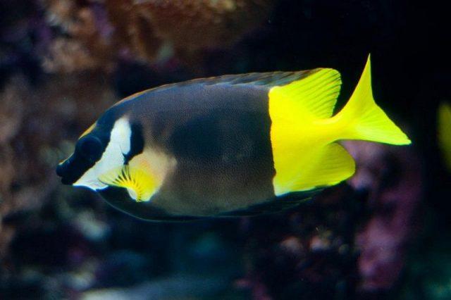 Gambar Ikan Hias Air Laut Bicolor Foxface