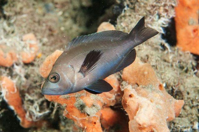 Gambar Ikan Hias Air Laut Black hamlet