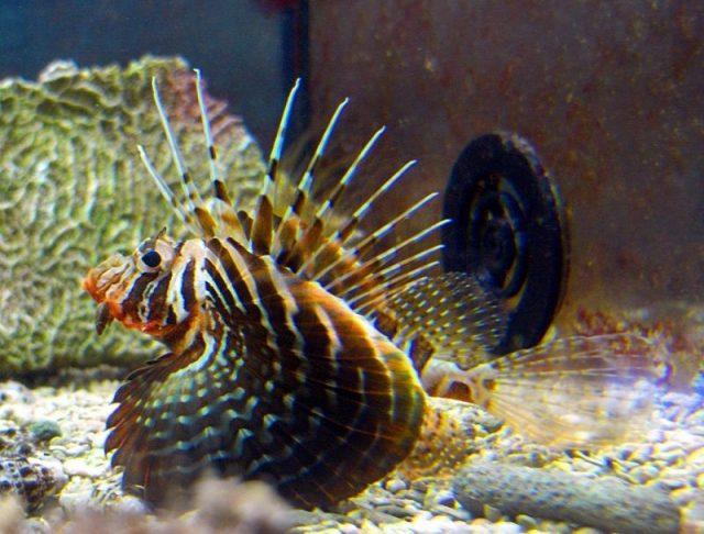 Gambar Ikan Hias Air Laut Blackfoot lionfish
