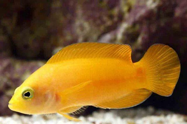 Gambar Ikan Hias Air Laut Brown dottyback atau yellow pseudochromis