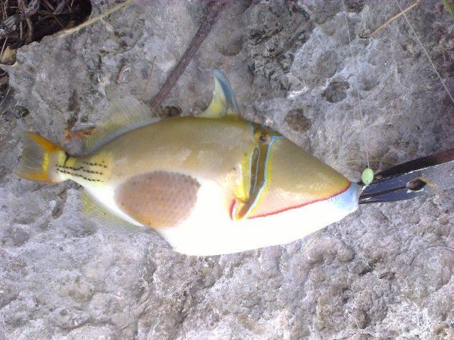 Gambar Ikan Hias Air Laut Bursa trigger