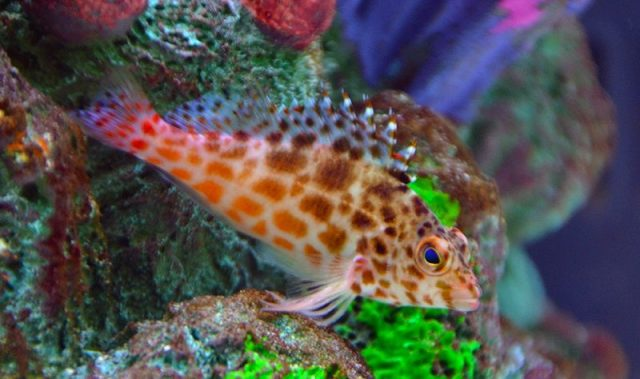 Gambar Ikan Hias Air Laut Coral hawkfish