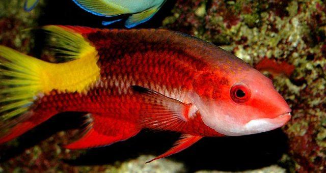 Gambar Ikan Hias Air Laut Cuban hogfish