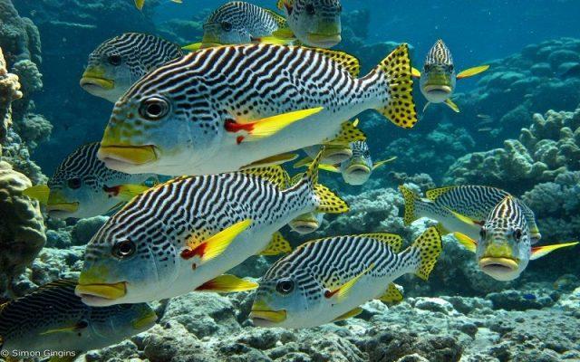 Gambar Ikan Hias Air Laut Dogfish prientalis