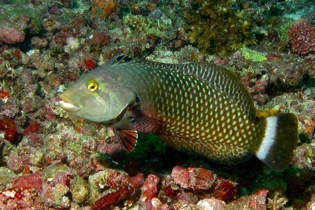 Gambar Ikan Hias Air Laut Dragon wrasse