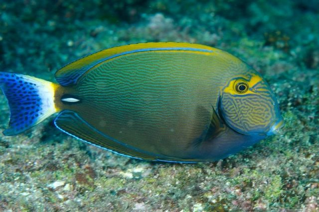 Gambar Ikan Hias Air Laut Dussumieri tang