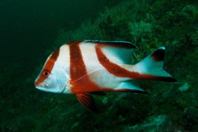 Gambar Ikan Hias Air Laut Emperor snapper