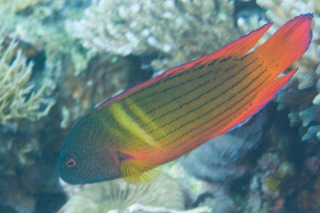 Gambar Ikan Hias Air Laut Firetail dottyback