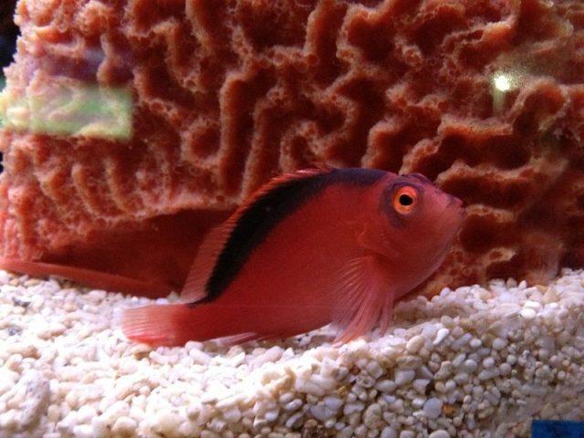 Gambar Ikan Hias Air Laut Flame hawkfish