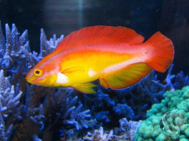 Gambar Ikan Hias Air Laut Flame wrasse