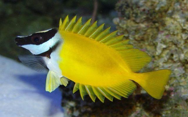 Gambar Ikan Hias Air Laut Foxface