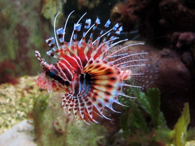 Gambar Ikan Hias Air Laut Fuzzy dwarf lionfish