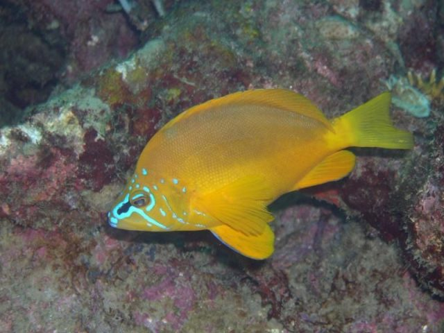 Gambar Ikan Hias Air Laut Golden hamlet