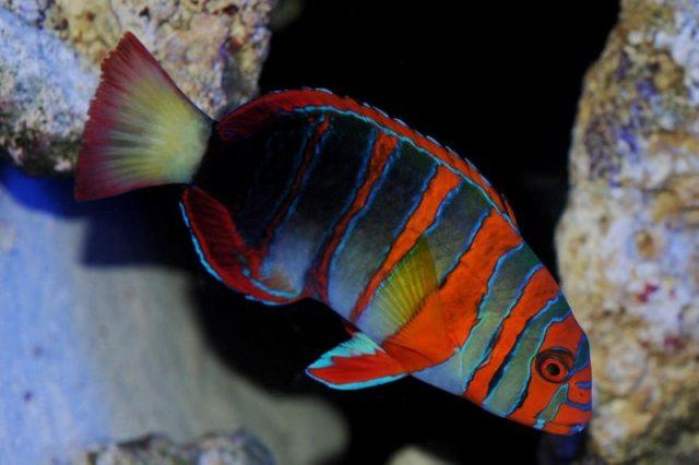 Gambar Ikan Hias Air Laut Harlequin tusk