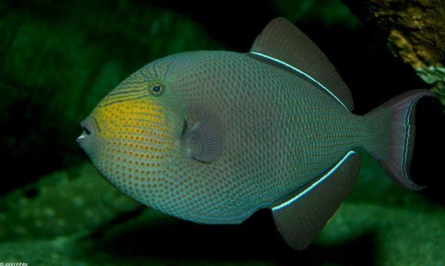 Gambar Ikan Hias Air Laut Hawaiian black trigger