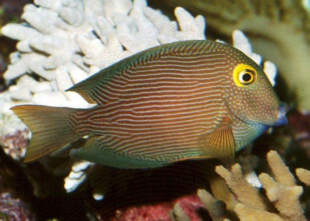 Gambar Ikan Hias Air Laut Kole tang