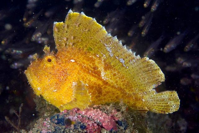 Gambar Ikan Hias Air Laut Leaf scorpionfish
