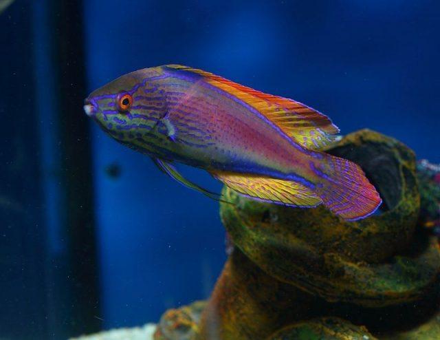 Gambar Ikan Hias Air Laut Lineatus fairy wrasse