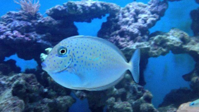 Gambar Ikan Hias Air Laut Lopezi tang