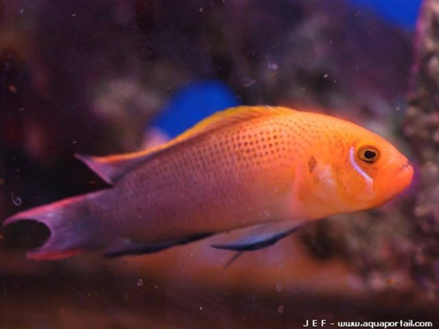 Gambar Ikan Hias Air Laut Lyretail dottyback
