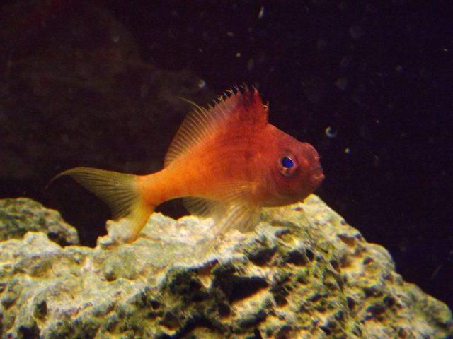 Gambar Ikan Hias Air Laut Lyretail hawkfish