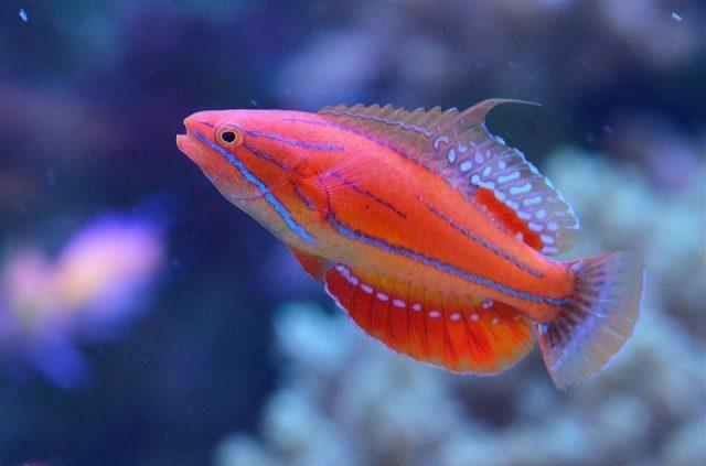 Gambar Ikan Hias Air Laut McCosker's flasher wrasse