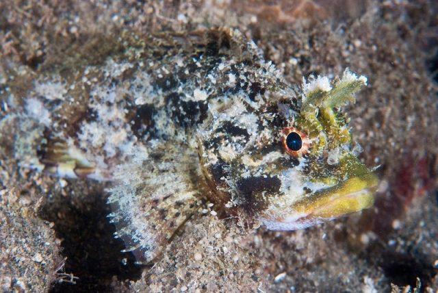 Gambar Ikan Hias Air Laut Mozambique scorpionfish
