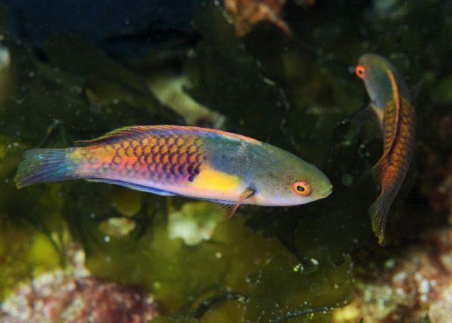 Gambar Ikan Hias Air Laut Multicolor velvet wrasse