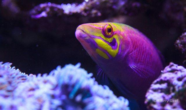 Gambar Ikan Hias Air Laut Mystery wrasse