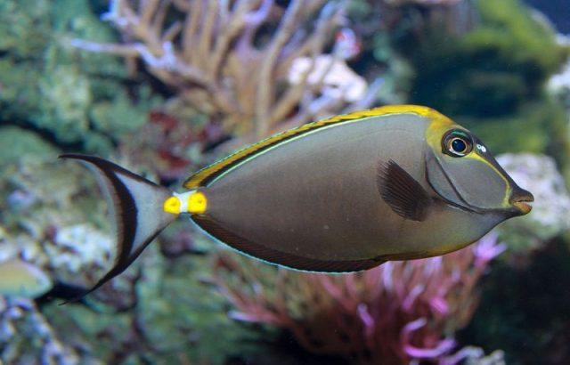 Gambar Ikan Hias Air Laut Naso tang, blonde naso tang
