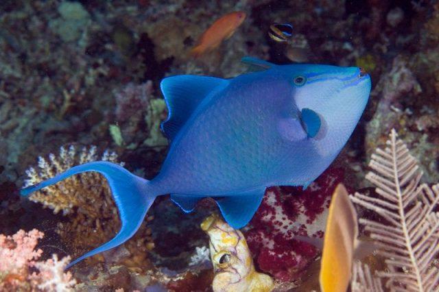Gambar Ikan Hias Air Laut Niger trigger