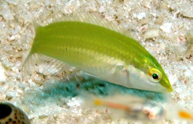 Gambar Ikan Hias Air Laut Pastel-green wrasse