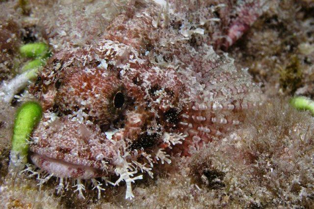 Gambar Ikan Hias Air Laut Poss's scorpionfish