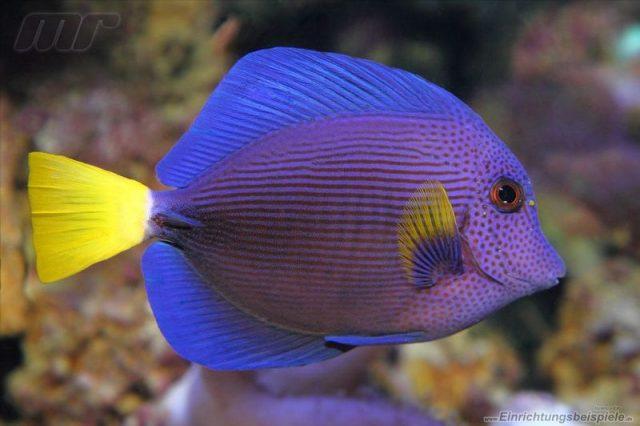 Gambar Ikan Hias Air Laut Purple tang