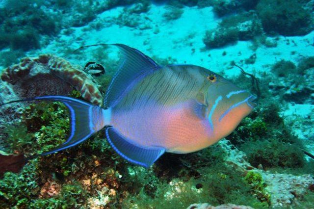 Gambar Ikan Hias Air Laut Queen trigger