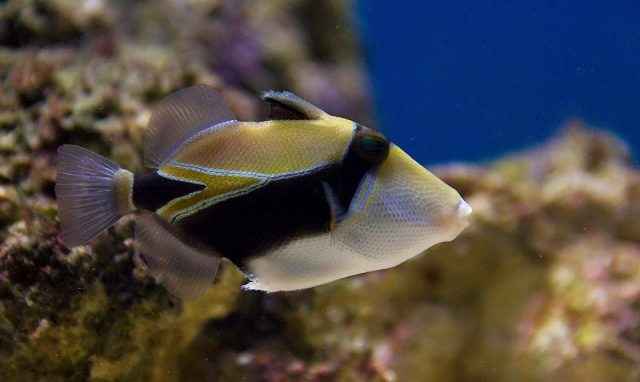 Gambar Ikan Hias Air Laut Rectangular trigger