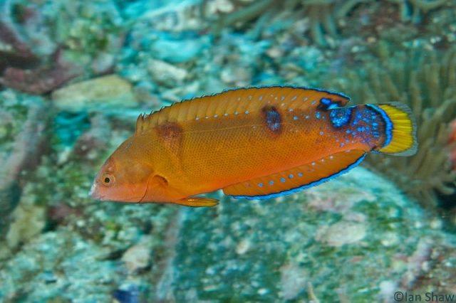 Gambar Ikan Hias Air Laut Red coris wrasse