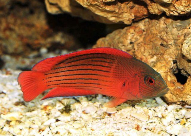 Gambar Ikan Hias Air Laut Red dottyback