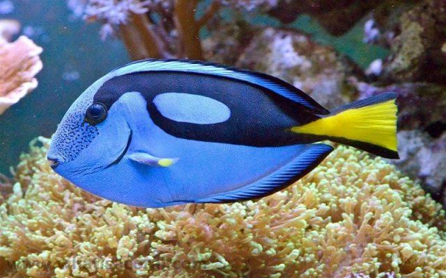 Gambar Ikan Hias Air Laut Regal atau Hippo tang