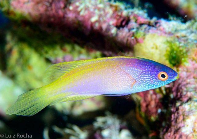 Gambar Ikan Hias Air Laut Rhomboid fairy wrasse